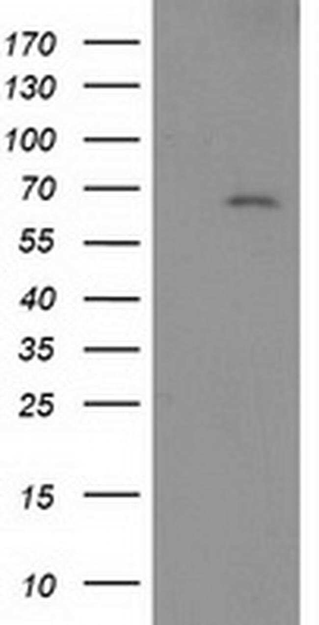 LNK Mouse anti-Human, Clone: OTI2D8, Invitrogen 100 µL; Unconjugated