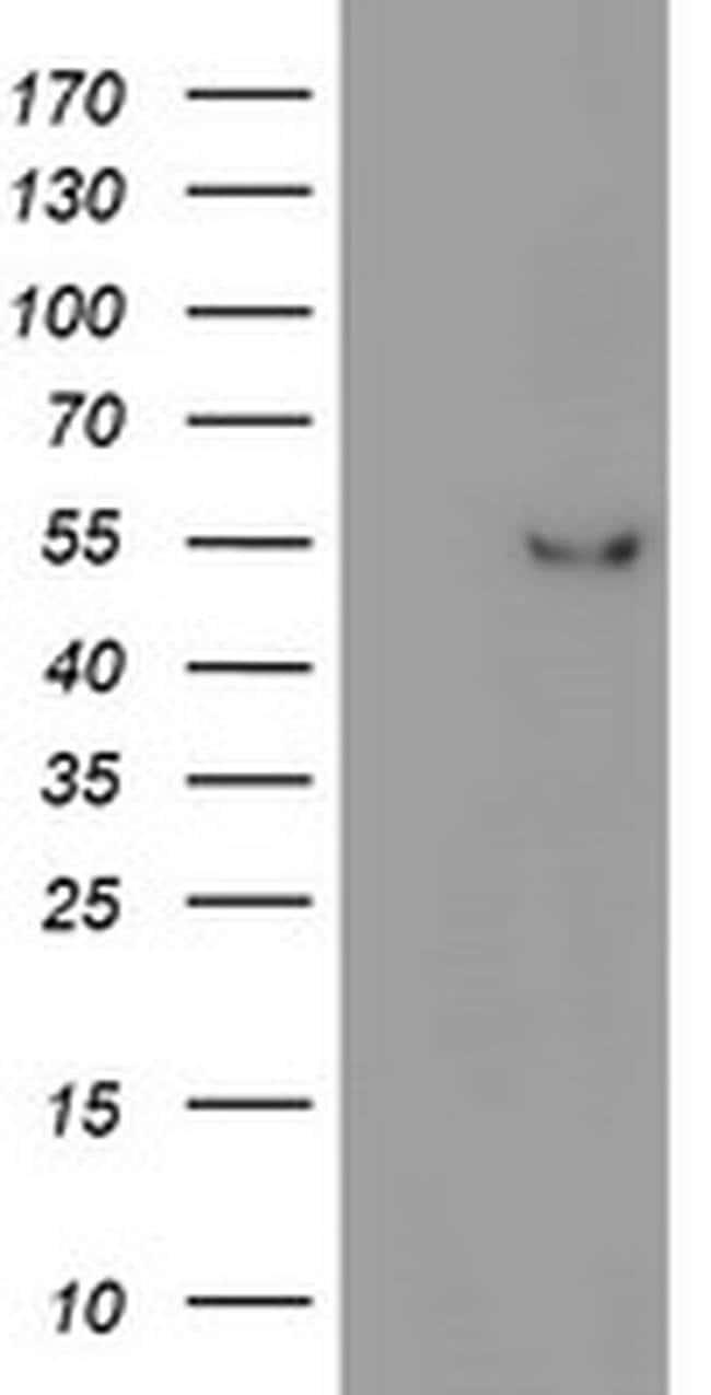 ITFG2 Mouse anti-Human, Non-human primate, Rat, Clone: OTI3A3, Invitrogen