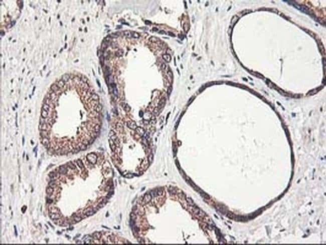 PBDC1 Mouse anti-Human, Clone: OTI4E11, Invitrogen 100 µL; Unconjugated