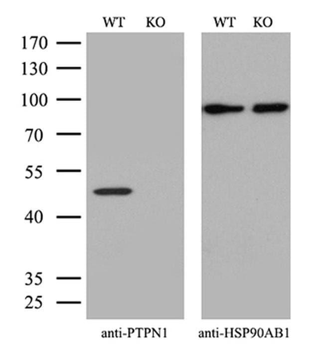 PTP1B Mouse anti-Human, Clone: OTI2G3, Invitrogen 100 µL; Unconjugated