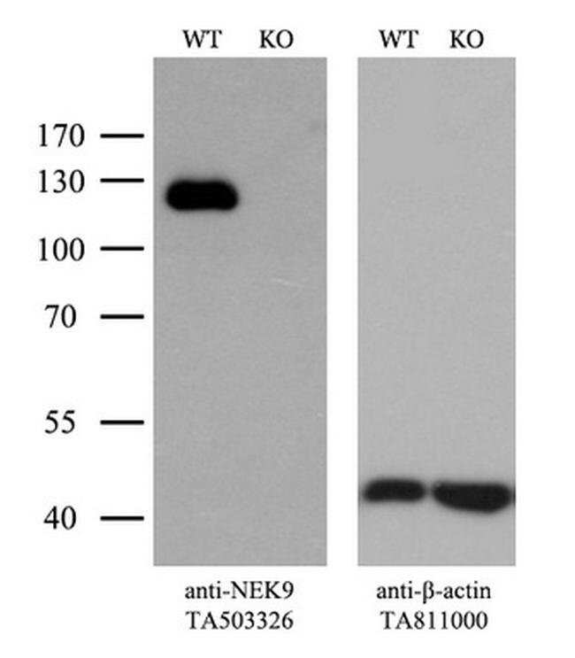 NEK9 Mouse anti-Human, Clone: OTI1H1, Invitrogen 100 µL; Unconjugated