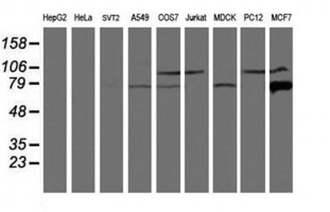 Calpain 9 Mouse anti-Canine, Human, Non-human primate, Rat, Clone: OTI3G10,
