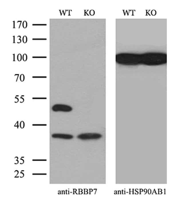 RbAp46 Mouse anti-Human, Clone: OTI5A4, Invitrogen 100 µL; Unconjugated