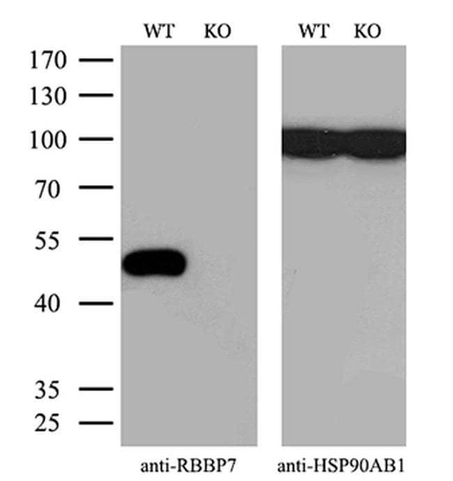 RbAp46 Mouse anti-Human, Clone: OTI4C9, Invitrogen 100 µL; Unconjugated