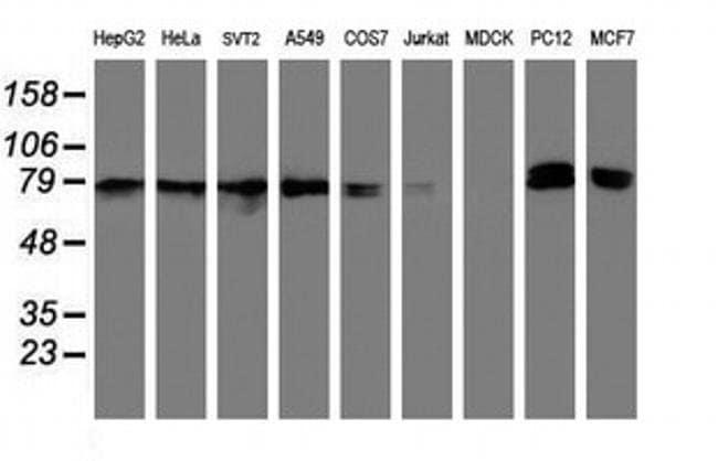 NLN Mouse anti-Human, Mouse, Non-human primate, Rat, Clone: OTI1D6, Invitrogen