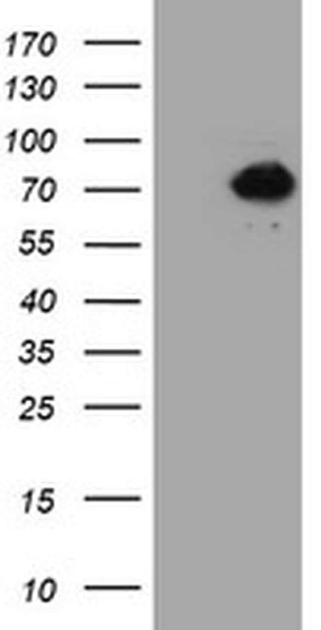 ACBD3 Mouse anti-Human, Clone: OTI3E7, Invitrogen 100 µL; Unconjugated