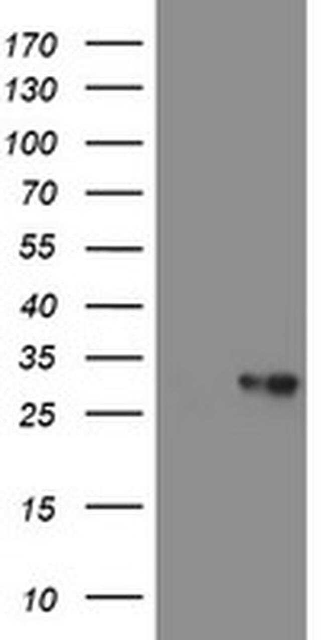 VBP1 Mouse anti-Canine, Human, Mouse, Non-human primate, Rat, Clone: OTI2A3,