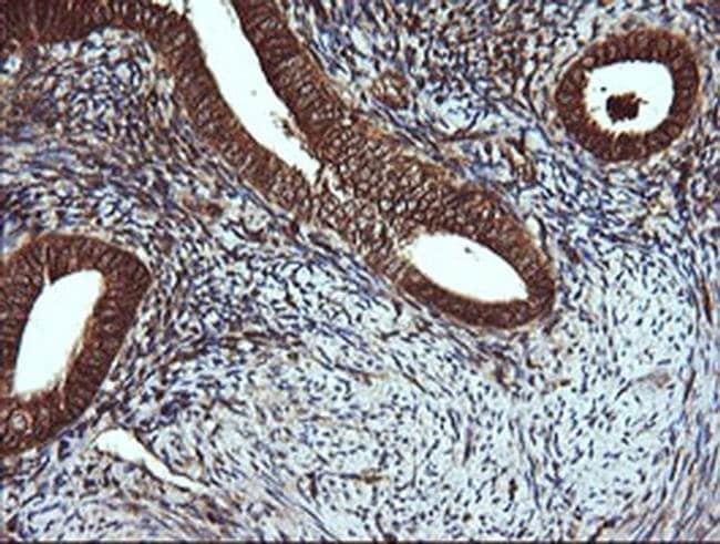 VBP1 Mouse anti-Canine, Human, Mouse, Non-human primate, Rat, Clone: OTI2G2,