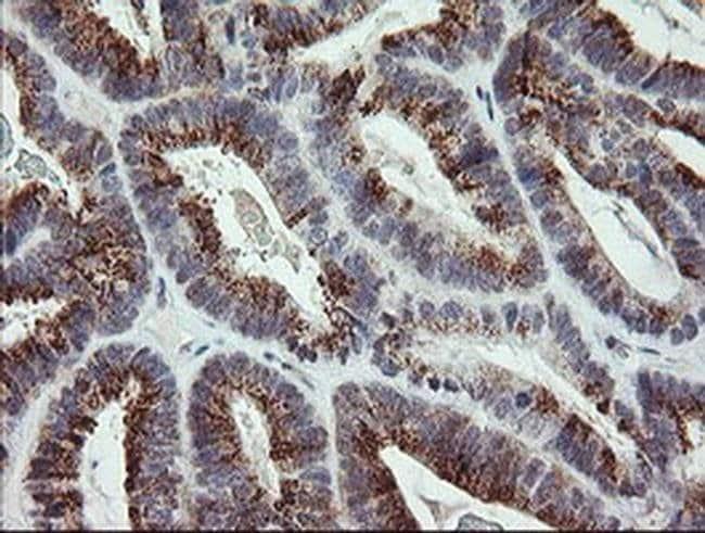 DREF Mouse anti-Human, Clone: OTI1F7, Invitrogen 100 µL; Unconjugated