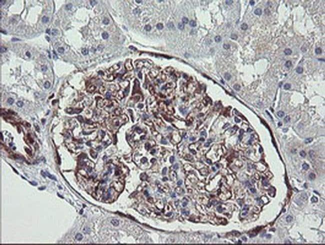 TSC22D1 Mouse anti-Human, Clone: OTI1A5, Invitrogen 100 µL; Unconjugated