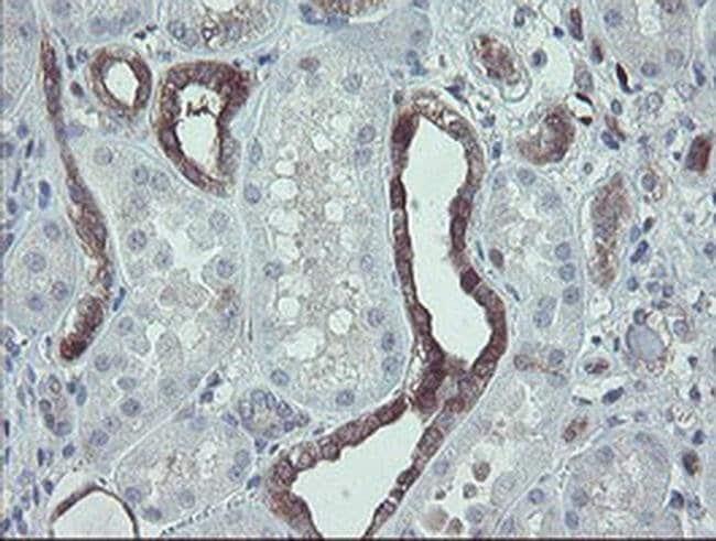 TSC22D1 Mouse anti-Human, Clone: OTI3B7, Invitrogen 100 µL; Unconjugated