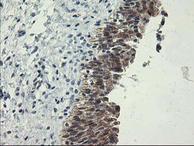 POLR3C Mouse anti-Human, Clone: OTI2H1, Invitrogen 100 µL; Unconjugated