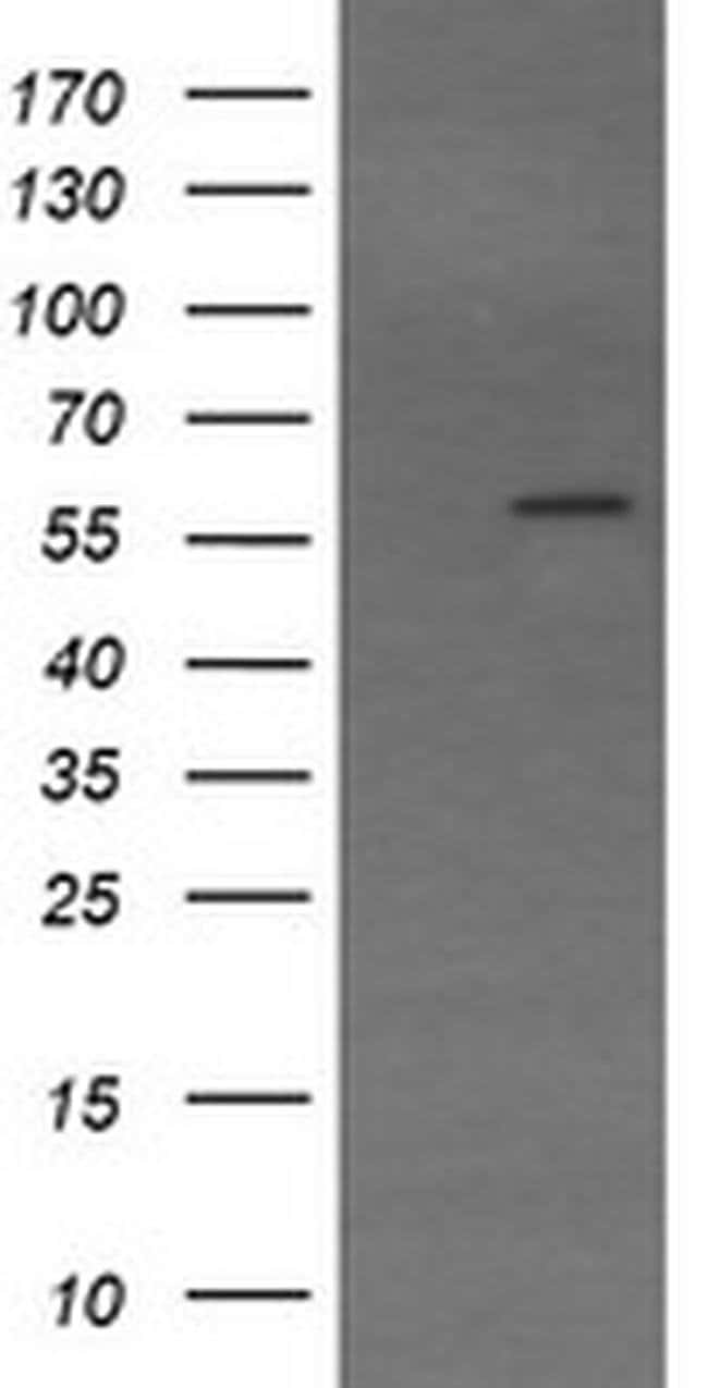 TRIM22 Mouse anti-Human, Clone: OTI1D11, Invitrogen 100 µL; Unconjugated