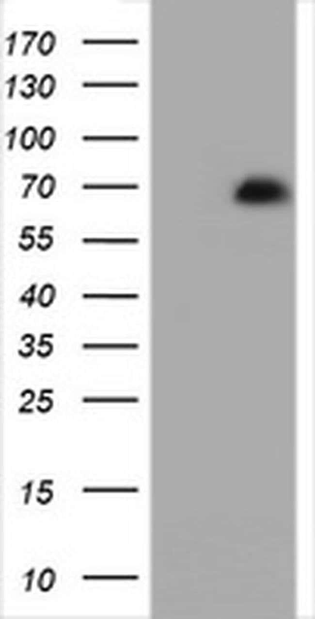 ZNF447 Mouse anti-Human, Clone: OTI4D10, Invitrogen 100 µL; Unconjugated