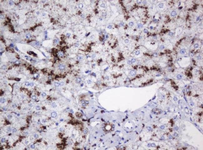 GLB1 Mouse anti-Canine, Human, Non-human primate, Clone: OTI1C9, Invitrogen