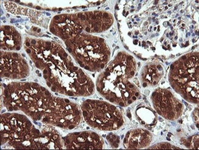 DDT Mouse anti-Human, Non-human primate, Clone: OTI1A1, Invitrogen 100