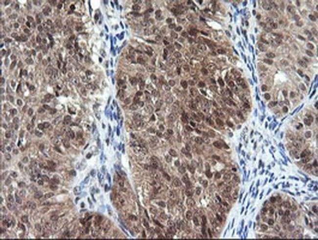 DDT Mouse anti-Human, Non-human primate, Clone: OTI1H3, Invitrogen 100