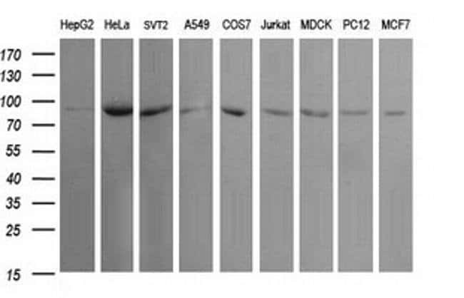 USP16 Mouse anti-Human, Clone: OTI1B4, Invitrogen 100 µL; Unconjugated
