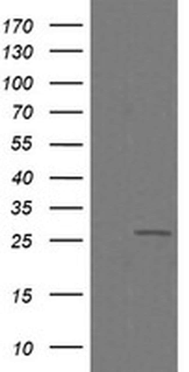 C4orf22 Mouse anti-Human, Clone: OTI1A6, Invitrogen 100 µL; Unconjugated