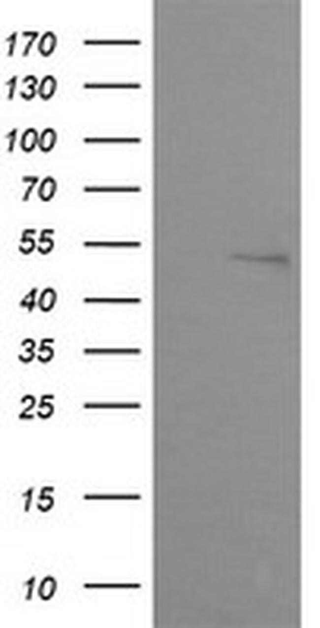 ZNF38 Mouse anti-Canine, Human, Mouse, Non-human primate, Clone: OTI2E5,