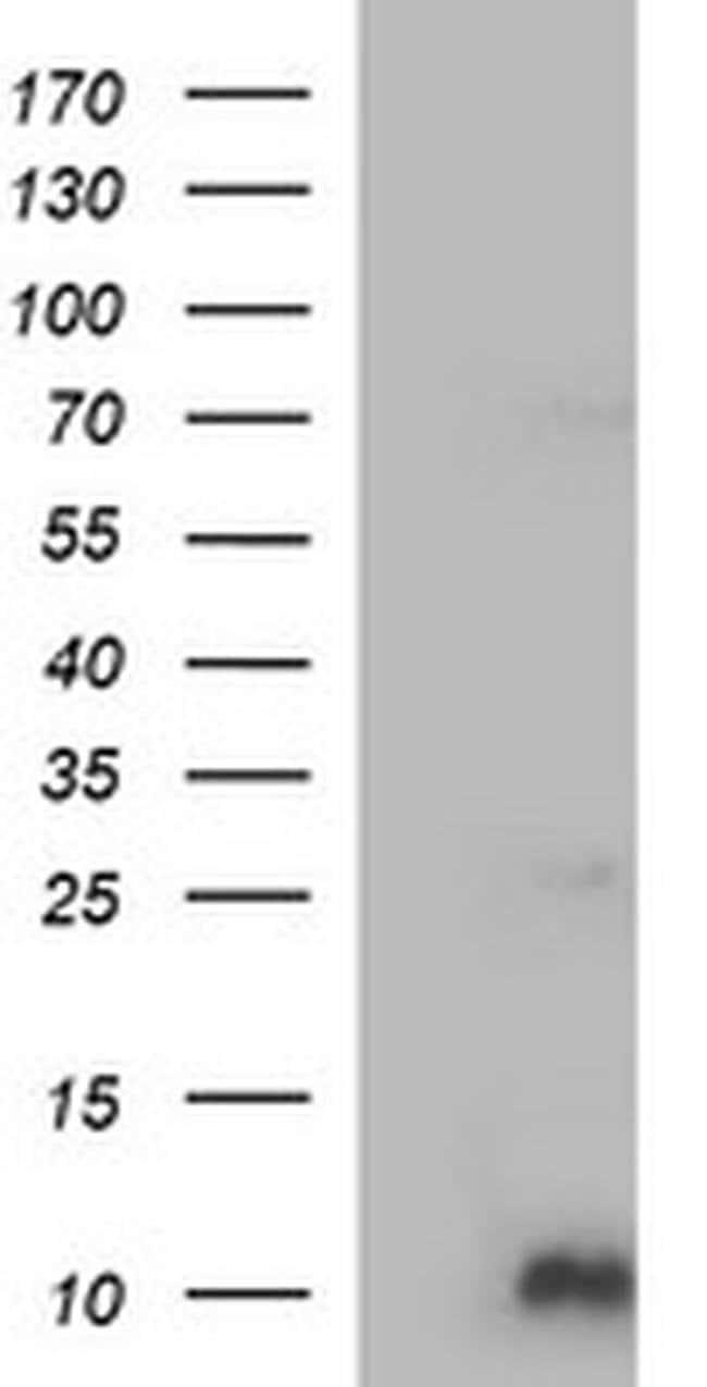 COX6C Mouse anti-Human, Clone: OTI4A5, Invitrogen 100 µL; Unconjugated
