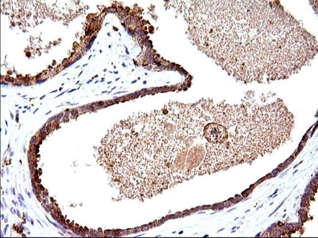 SCAMP2 Mouse anti-Human, Clone: OTI2F1, Invitrogen 100 µL; Unconjugated