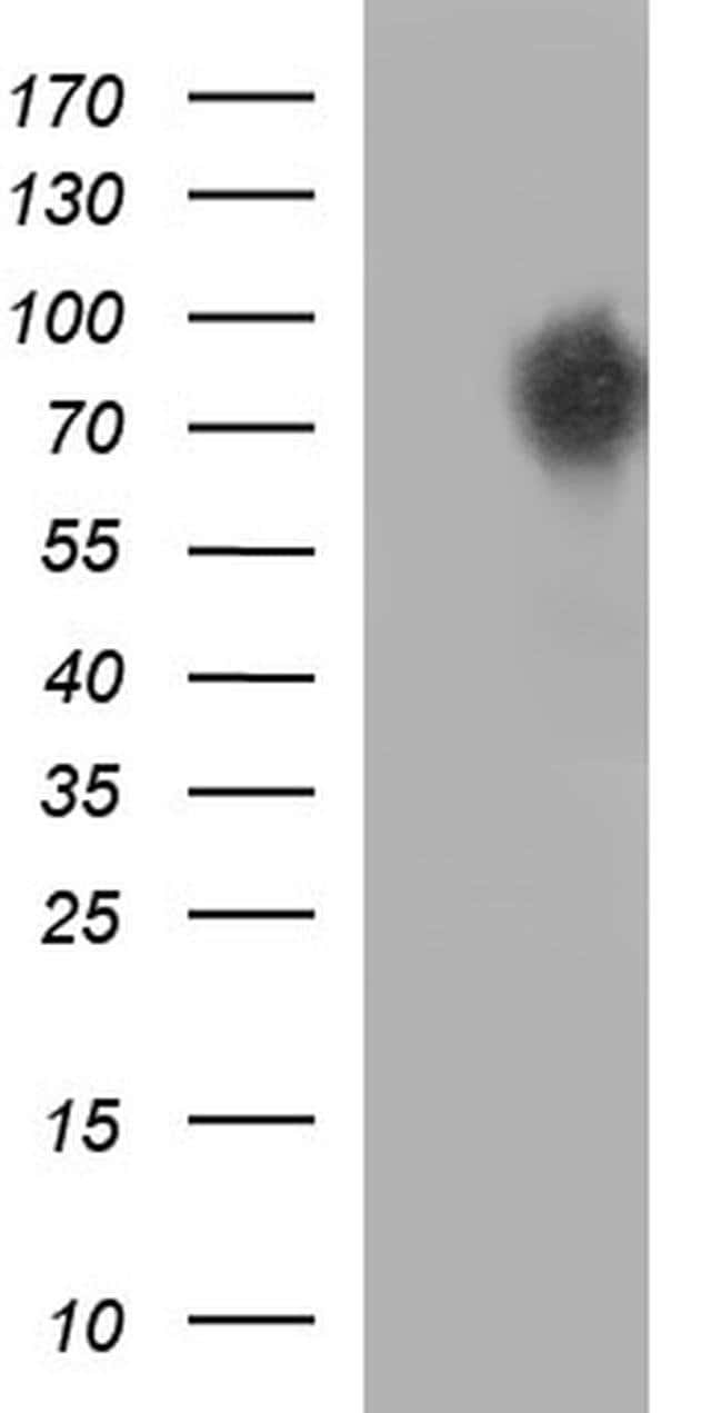 CEP68 Mouse anti-Human, Clone: OTI5D8, Invitrogen 100 µL; Unconjugated