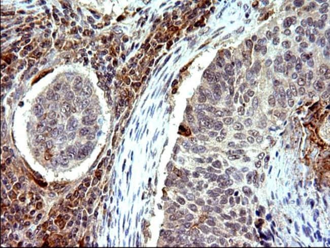 COX4NB Mouse anti-Human, Clone: OTI1D6, Invitrogen 100 µL; Unconjugated