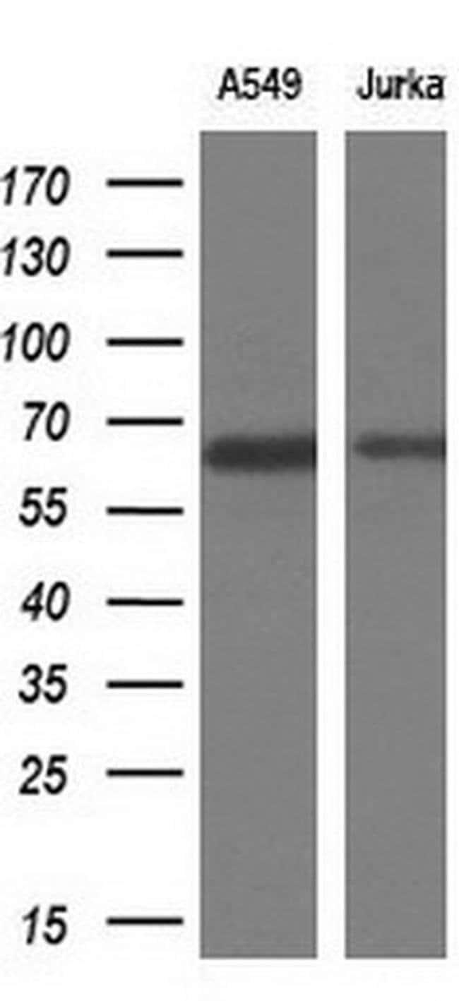 TRIM9 Mouse anti-Human, Clone: OTI2D6, Invitrogen 100 µL; Unconjugated