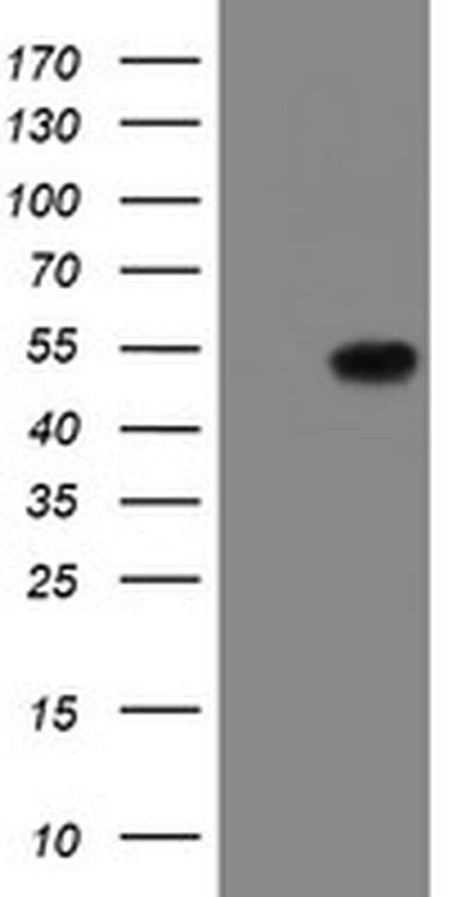 LANCL2 Mouse anti-Human, Clone: OTI2A11, Invitrogen 100 µL; Unconjugated