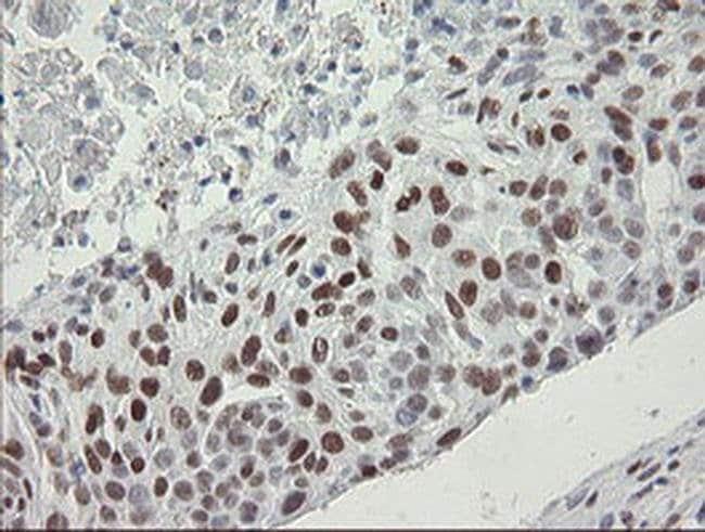 TLE1 Mouse anti-Human, Clone: OTI1F5, Invitrogen 100 µL; Unconjugated