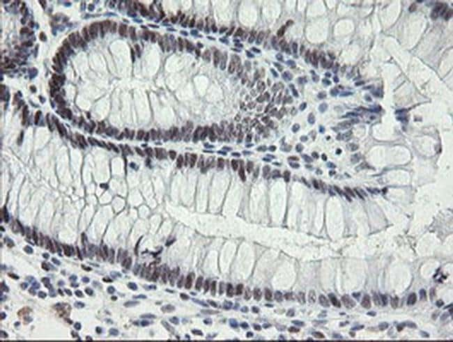TLE1 Mouse anti-Human, Clone: OTI1D6, Invitrogen 100 µL; Unconjugated