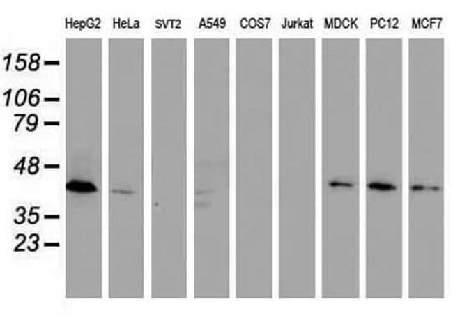 DPPA2 Mouse anti-Canine, Human, Rat, Clone: OTI1G10, Invitrogen 100 µL;