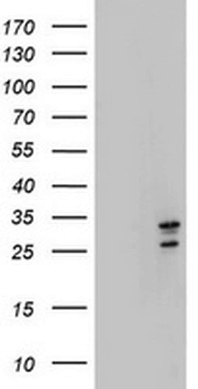 MORF4 Mouse anti-Canine, Human, Mouse, Non-human primate, Rat, Clone: OTI5F2,