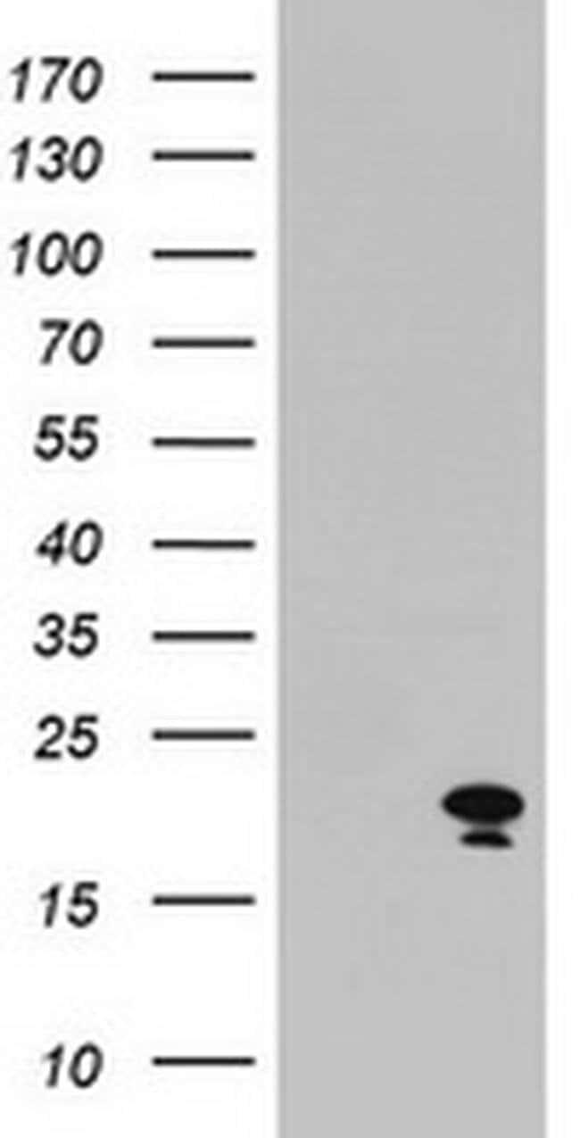ARL2BP Mouse anti-Canine, Human, Mouse, Non-human primate, Clone: OTI1F8,