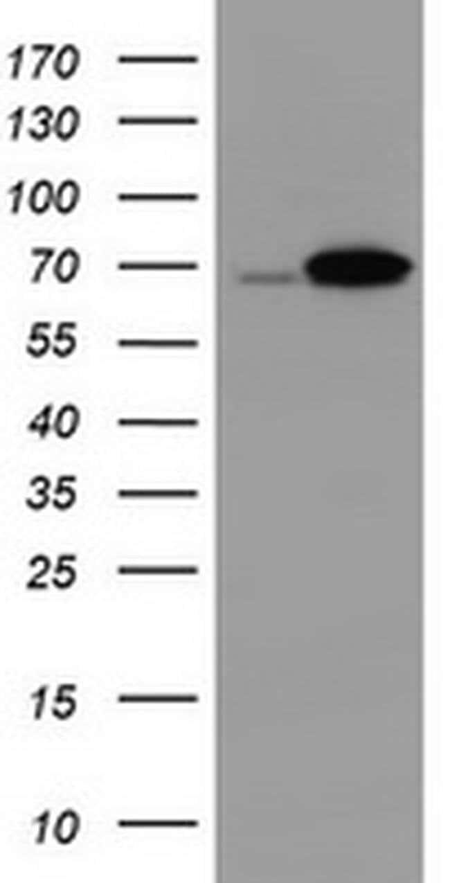 DDX59 Mouse anti-Human, Clone: OTI1F11, Invitrogen 100 µL; Unconjugated