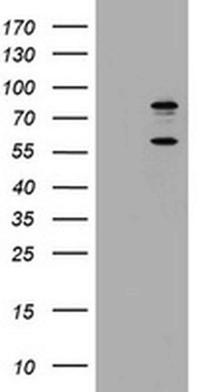 TRIF Mouse anti-Human, Non-human primate, Clone: OTI1G7, Invitrogen 100
