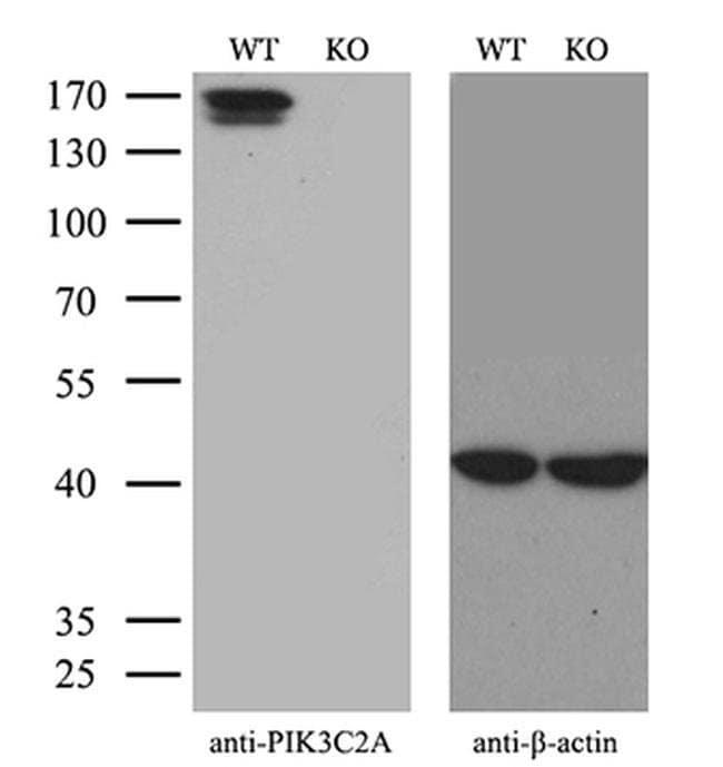 PIK3C2A Mouse anti-Human, Clone: OTI3D9, Invitrogen 100 µL; Unconjugated