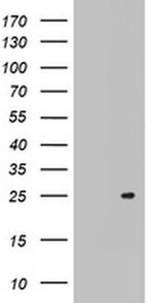 ARL3 Mouse anti-Human, Clone: OTI3A10, Invitrogen 100 µL; Unconjugated