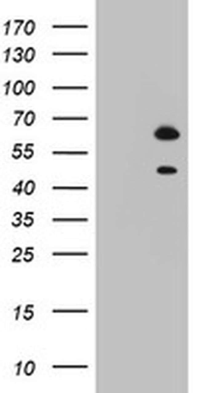 RBFOX1 Mouse anti-Human, Clone: OTI1F7, Invitrogen 100 µL; Unconjugated
