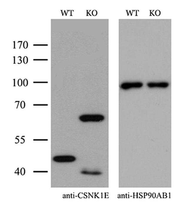 CK1 epsilon Mouse anti-Human, Clone: OTI2B3, Invitrogen 100 µL; Unconjugated