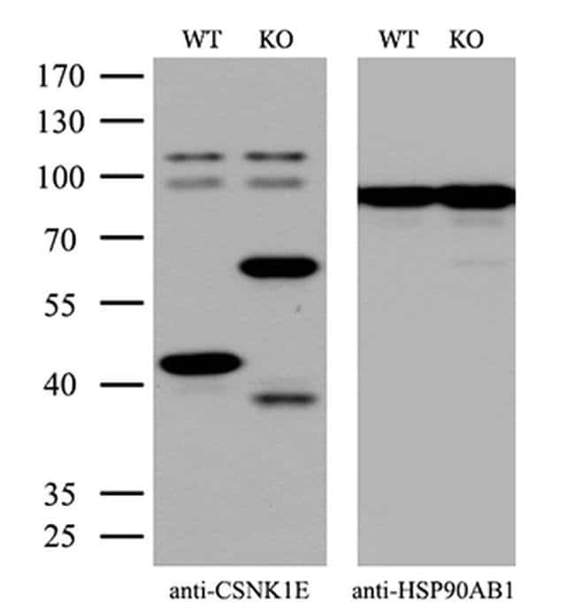CK1 epsilon Mouse anti-Human, Clone: OTI5D4, Invitrogen 100 µL; Unconjugated