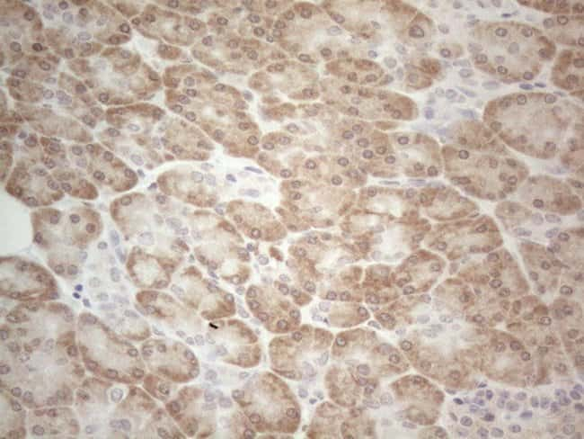 UBA52 Mouse anti-Human, Clone: OTI4F2, Invitrogen 100 µL; Unconjugated