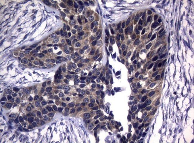 CDCA8 Mouse anti-Human, Clone: OTI7G7, Invitrogen 100 µL; Unconjugated