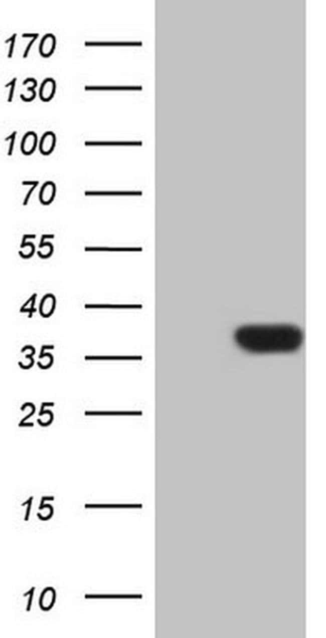 PSMG2 Mouse anti-Human, Clone: OTI1E3, Invitrogen 100 µL; Unconjugated