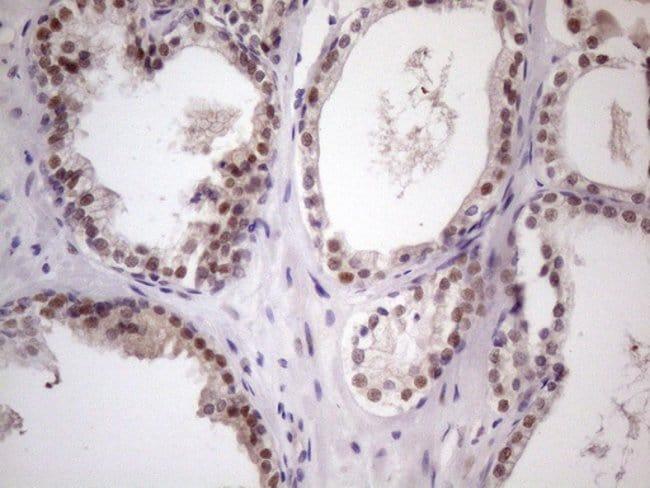 ZNF200 Mouse anti-Human, Clone: OTI5F4, Invitrogen 100 µL; Unconjugated