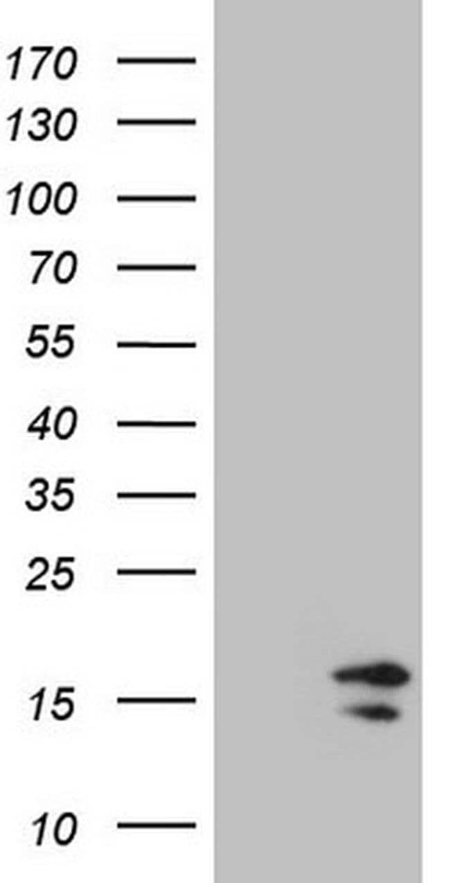 HIST1H2BA Mouse anti-Human, Clone: OTI1C9, Invitrogen 100 µL; Unconjugated