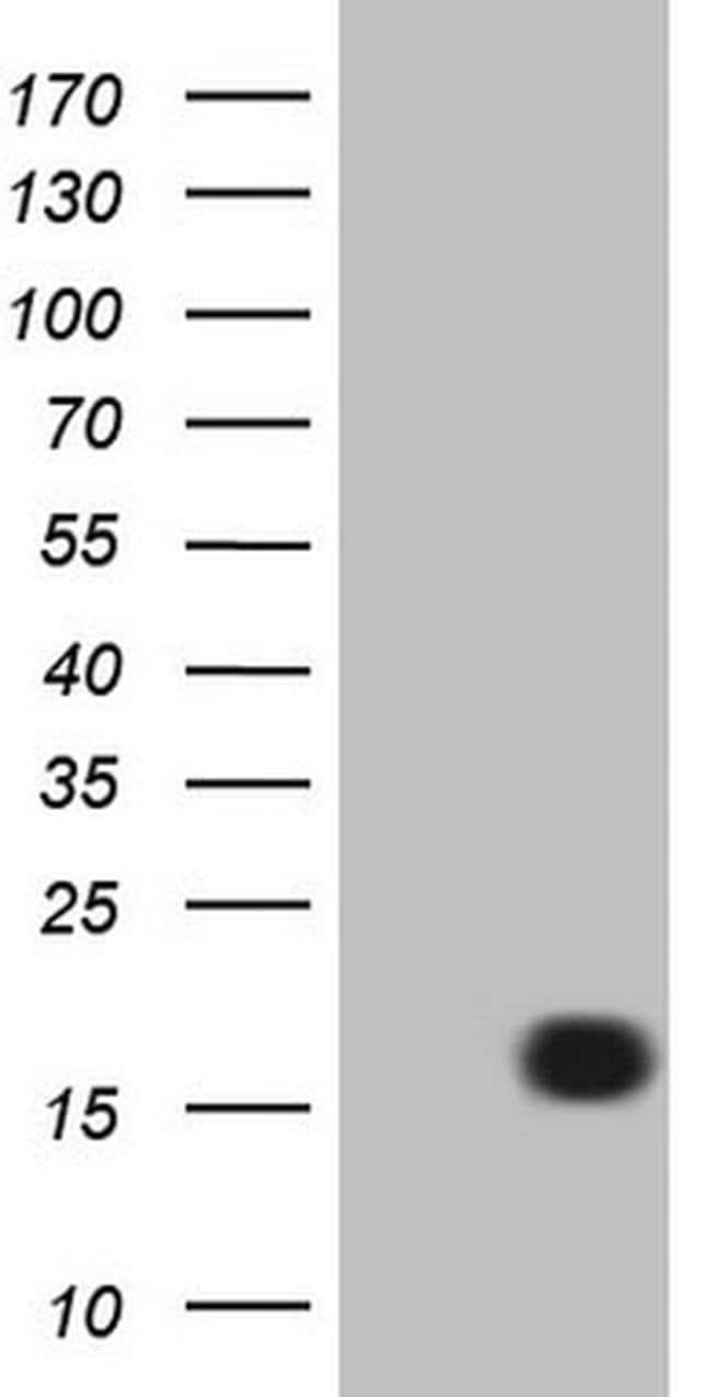 LELP1 Mouse anti-Human, Clone: OTI3D5, Invitrogen 100 µL; Unconjugated