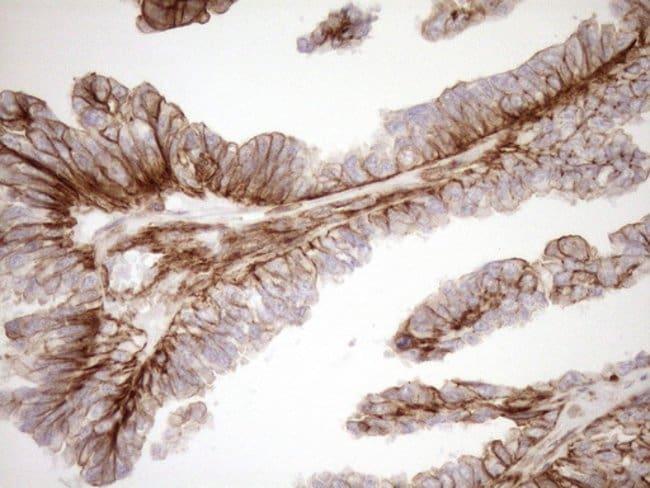 EPLIN Mouse anti-Human, Clone: OTI9F3, Invitrogen 100 µL; Unconjugated