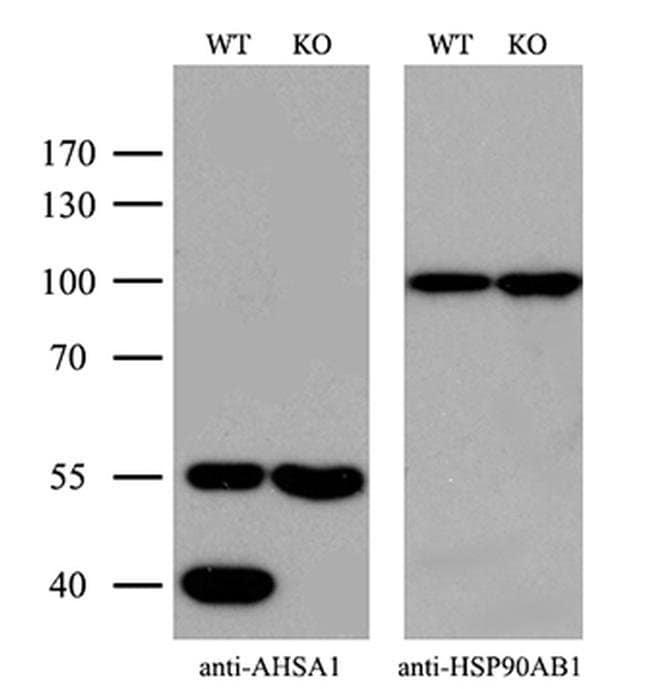 AHA1 Mouse anti-Human, Clone: OTI1D2, Invitrogen 100 µL; Unconjugated